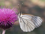 Black-veined White   24.Aporia crataegi