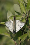 Black-veined White   Aporia crataegi