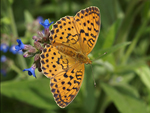 Marbled Fritillary    32.Brenthis daphne