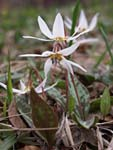 Dog`s Tooth Violet   Erythronium dens-canis