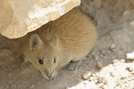 Golden Spiny Mouse   Acomys russatus
