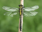 Common Club-tail    11.Gomphus vulgatissimus