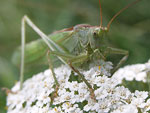 Great Green Bush-cricket   Tettigonia viridissima
