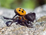 Lady Bird Spider   07.Eresus niger