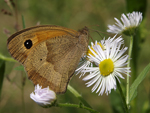 Meadow Brown    29.Maniola jurtina
