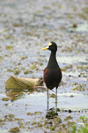 Northern Jacana    Jacana spinosa