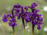 Green-winged Orchid    Orchis morio