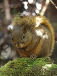 Poas Squirrel    Syntheosciurus brochus