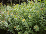 Golden Root    Rhodiola rosea
