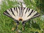 Scarce Swallowtail   23.Iphiclides podalirius
